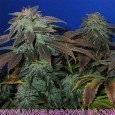 Heavy Duty Fruity (TH Seeds)