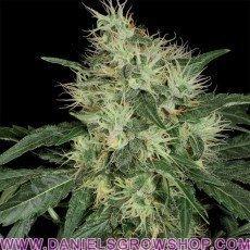 Lambo (TH Seeds)