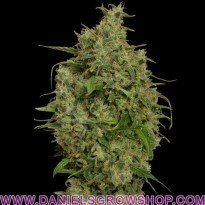 Sweet Tooth (Barney's Farm)
