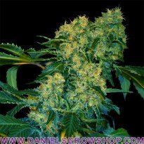 Chingis Khan (VIP Seeds)