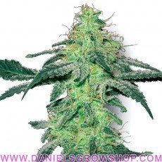 White Skunk (White Label)
