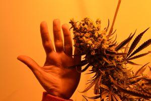marihuana-0731