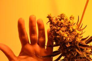 marihuana-0732