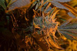 marihuana-0734