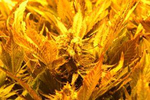 marihuana-0736