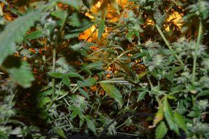 marihuana-0740