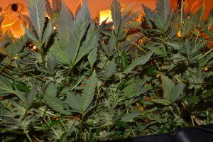 marihuana-0741