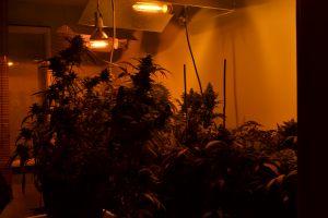 marihuana-0746