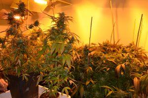 marihuana-0747