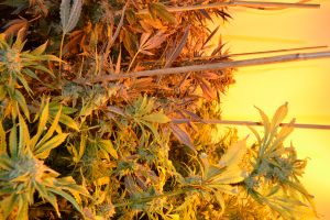 marihuana-0749