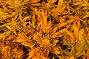marihuana-0750
