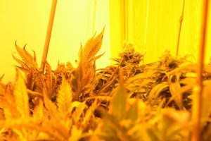 marihuana-0751