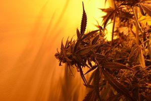 marihuana-0754
