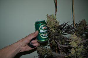 marihuana-0756
