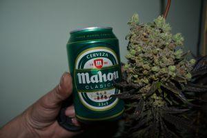 marihuana-0757