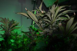 marihuana-0761