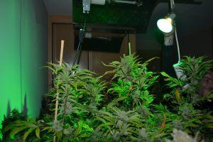 marihuana-0762