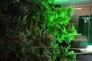 marihuana-0763