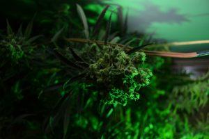marihuana-0764