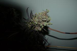 marihuana-0767