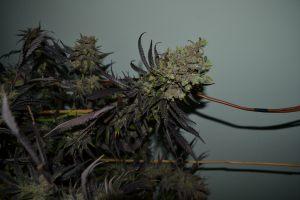 marihuana-0768