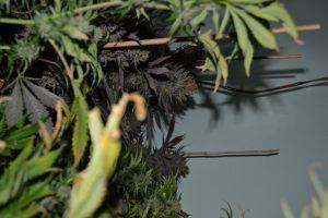 marihuana-0778