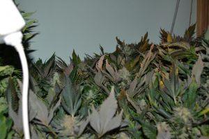 marihuana-0781