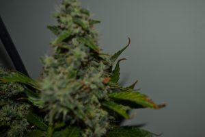 marihuana-0785