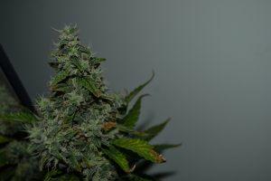 marihuana-0786
