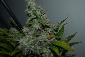 marihuana-0787