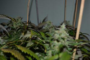 marihuana-0806