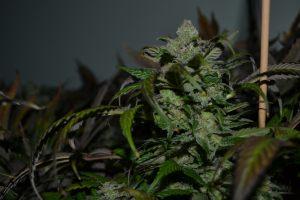 marihuana-0810