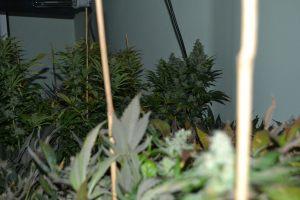 marihuana-0830