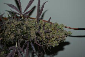 marihuana-0856