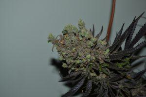 marihuana-0862