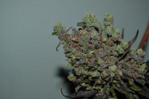 marihuana-0863