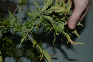 marihuana-0870