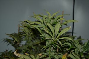 marihuana-0882