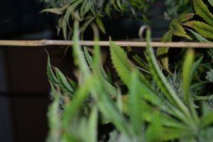 marihuana-0883
