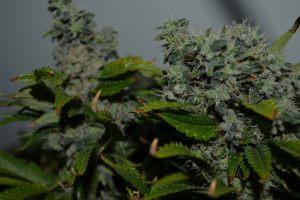 marihuana-0886